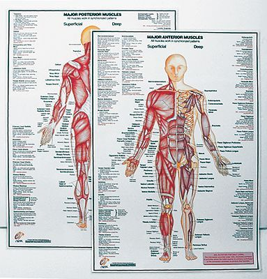 Major Anterior Muscle Chart