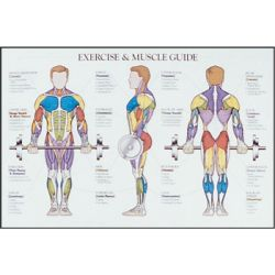 posterior muscle chart includes weight training exercises | power, Cephalic Vein